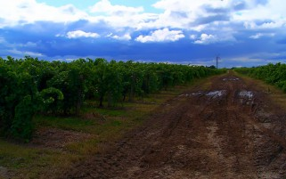 Lovely Grapes Field Dirty Road wallpapers and stock photos