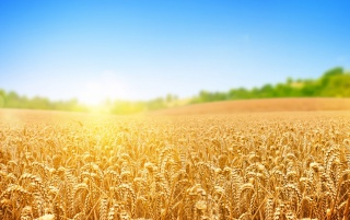 Wheat Field wallpapers and stock photos