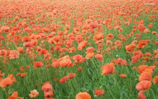 Random: Orange Poppy Field
