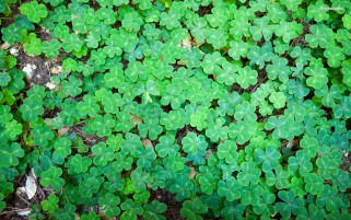 Beautiful Clover Close Up wallpapers and stock photos