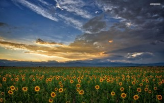 Sun Flower Field Clouds Sunset wallpapers and stock photos