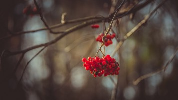 Mountain Ash Berries wallpapers and stock photos