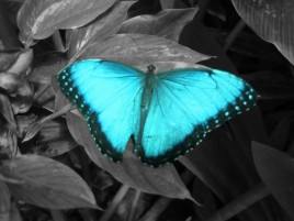 Light Blue Butterfly wallpapers and stock photos