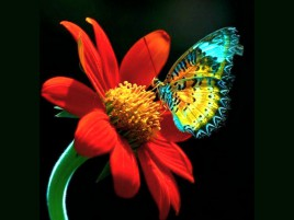 Calico Butterfly & Red Flower wallpapers and stock photos