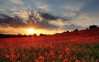 Lovely Poppy Field Sunset wallpapers and stock photos