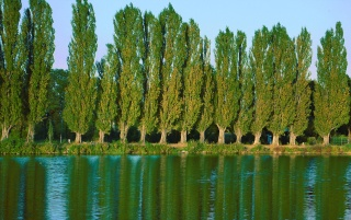 Poplars wallpapers and stock photos