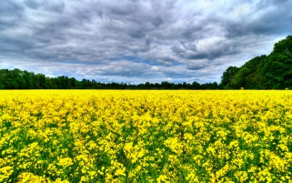 Sunny Rape Field Trees Clouds wallpapers and stock photos