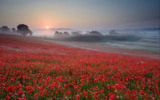 Random: Poppy Field Trees Foggy Sunset