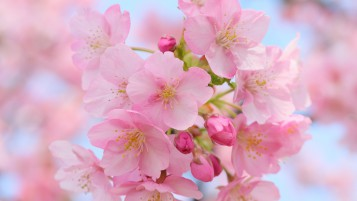 Pink Cherry Blossom wallpapers and stock photos