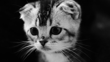 Cute Gray Kitten wallpapers and stock photos