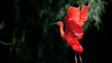 Red Ibis Bird Flying wallpapers and stock photos