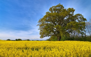 Rape Field Green Trees Sweden wallpapers and stock photos