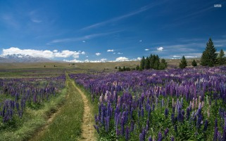 Random: Path Through The Lupine Field