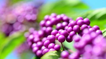 Callicarpa Berries wallpapers and stock photos