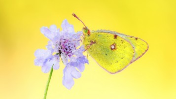 Yellow Butterfly wallpapers and stock photos