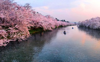 Cherry Rivers Hirosaki Castle wallpapers and stock photos