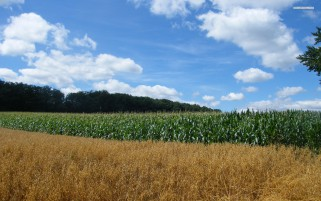 Random: Corn Fields Trees Clouds Sky