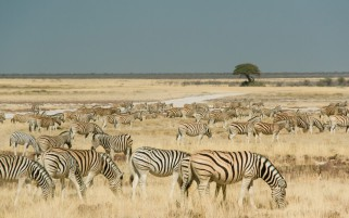 Zebras Etosha Park Namibia wallpapers and stock photos