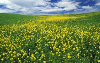 Field of Mustard wallpapers and stock photos