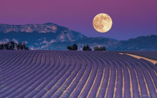 Full Moon & Lavender Field wallpapers and stock photos