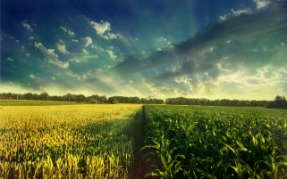 Bright Two Corn Fields wallpapers and stock photos