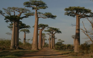 Bao Babs Avenue Madagascar wallpapers and stock photos