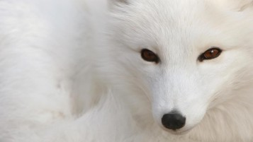 White Fox wallpapers and stock photos