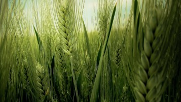 Green Wheat Field wallpapers and stock photos