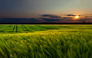 Random: Windy Wheat Field & Sunset