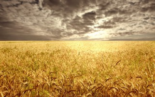 Golden Corn Field Gray Clouds wallpapers and stock photos