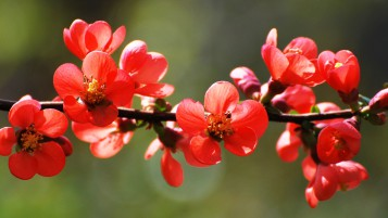 Red Spring Blossoms wallpapers and stock photos