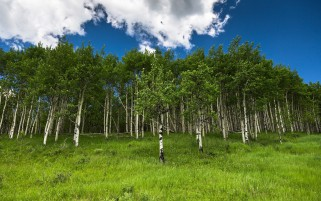 Random: Pretty Birch Trees Meadow Sky