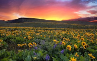 Lovely Sunset Sun Flower Field wallpapers and stock photos