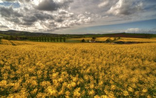Golden Rape Field Houses Trees wallpapers and stock photos