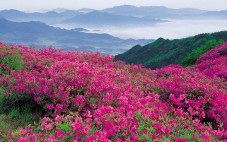 Mountains Pink Flowers Foggy wallpapers and stock photos