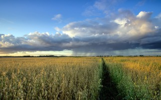 Lovely Oat Field Path Clouds wallpapers and stock photos