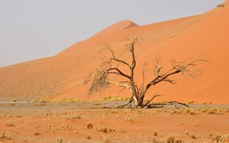 Nice Tree Namib Desert Africa wallpapers and stock photos