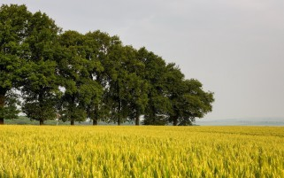 Yellow Wheat Field Green Trees wallpapers and stock photos