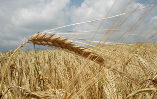 German grain field wallpapers and stock photos