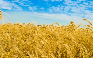 Golden Wheat Field Close Up wallpapers and stock photos