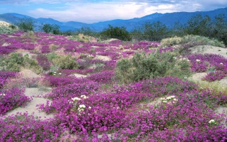 Nice Purple Flowers Peak Bush wallpapers and stock photos