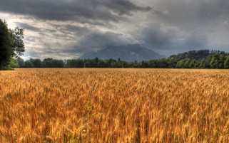 Golden Corn Field Trees Stormy wallpapers and stock photos