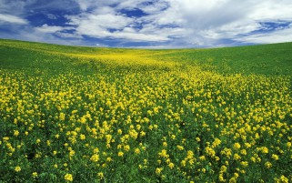 Beautiful Yellow Flower Meadow wallpapers and stock photos