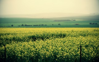 Lovely Yellow Flower Field wallpapers and stock photos