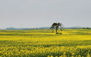 Rape Field Trees Sky wallpapers and stock photos