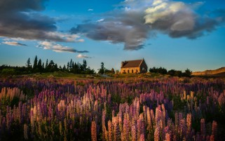 Lupine Field House Trees Sky wallpapers and stock photos