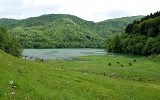 Green Pasture Cows Lake Trees wallpapers and stock photos