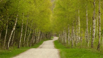 Random: Bright Green Birch Trees Path