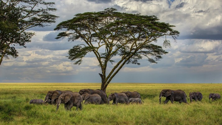 Elephants Trees Field Savannah wallpapers and stock photos