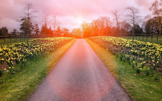 Daffodils Way Trees Red Sunset wallpapers and stock photos